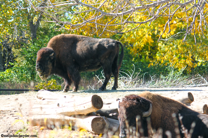 It was National Bison Day during our visit, so I had to capture this pair.