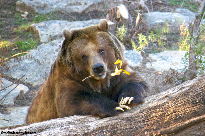 The Grizzly bear was posing for me before gnawing on this twig of leaves.