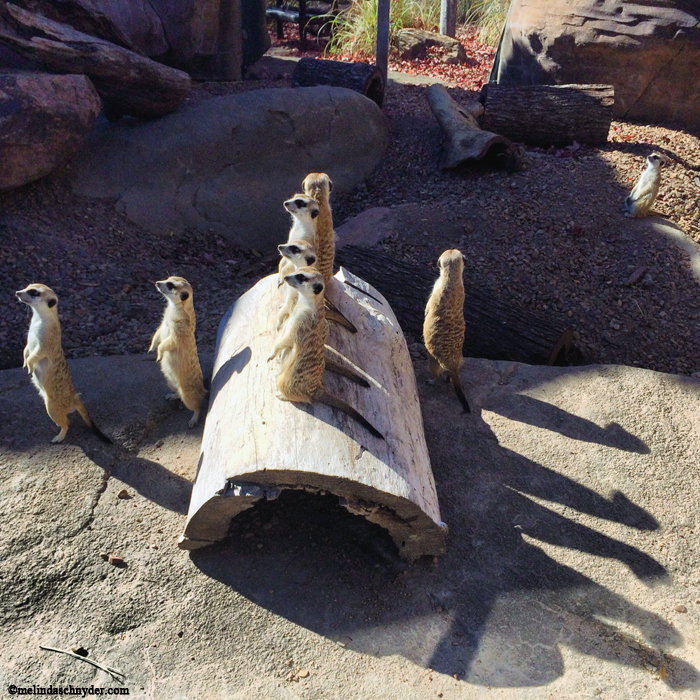 Always love the meerkats and the shadows were cool on this day.