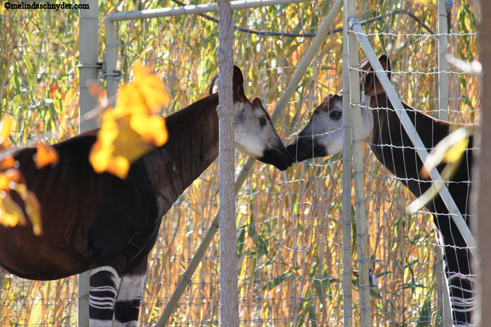 A fence couldn't contain the love between these Okapi.