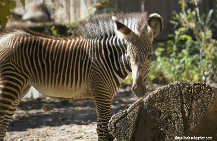 This Grevy's zebra was born 6 weeks ago.