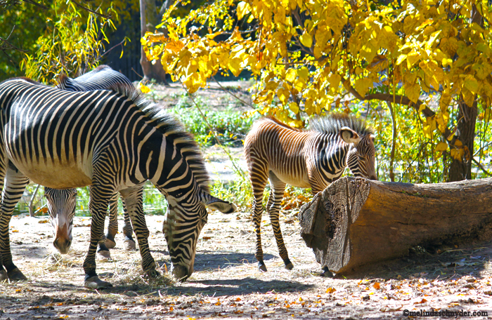 The baby zebra is on exhibit with her mom and her aunt.