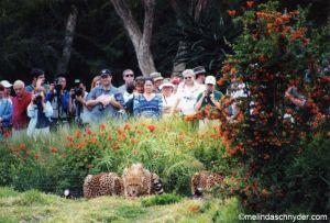 Travel_SDWP_Cheetah_Eat.jpg