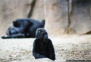 Travel_SDWP_baby_ape.jpg